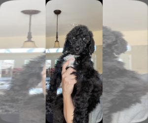 Poodle (Standard) Puppy for sale in DADEVILLE, AL, USA
