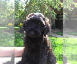Poodle (Miniature)-Soft Coated Wheaten Terrier Mix Puppy for Sale in HAMILTON, Michigan USA