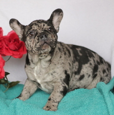 French Bulldog Puppy For Sale in GAP, PA, USA