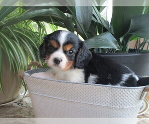 Cavalier King Charles Spaniel Puppy for sale in EPHRATA, PA, USA