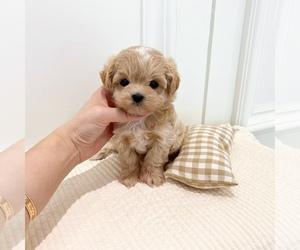 Maltipoo Dog for Adoption in REDLANDS, California USA