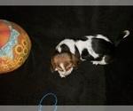 Small #14 Basset Hound