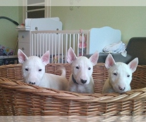 Miniature Bull Terrier Puppy for sale in Hodmezovasarhely, Csongrad, Hungary