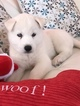 Siberian Husky Puppy For Sale in HIALEAH, FL, USA