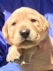 Labrador Retriever Puppy For Sale in TAYLORSVILLE, NC, USA