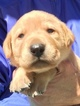 Labrador Retriever Puppy For Sale in TAYLORSVILLE, NC, USA