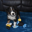 Australian Shepherd Puppy For Sale in GOWER, MO, USA
