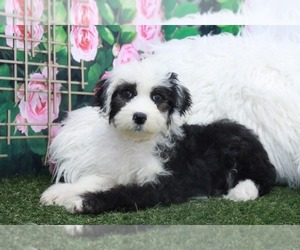 Sheepadoodle Puppy for sale in MARIETTA, GA, USA