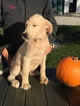 Labradoodle Puppy For Sale in LEO, IN,