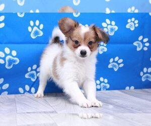 Papillon Puppy for sale in MARIETTA, GA, USA