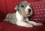 Great Dane puppy for Adoption