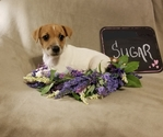 Jack Russell Terrier Puppy For Sale in MANSFIELD, Texas,
