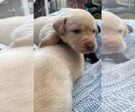 Small Photo #6 Labrador Retriever Puppy For Sale in ARLINGTON, VA, USA