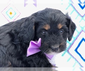 Miniature Bernedoodle Puppy for sale in CLAY, PA, USA
