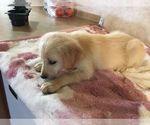 Golden Retriever Puppy for sale in PARIS, TX, USA