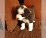 Puppy 4 Bearded Collie