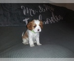 Puppy 2 Cavalier King Charles Spaniel
