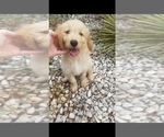 Goldendoodle Puppy For Sale in WICHITA FALLS, TX, USA