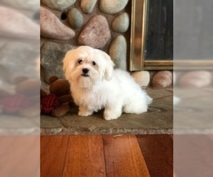 Maltese Puppy for sale in W LINN, OR, USA