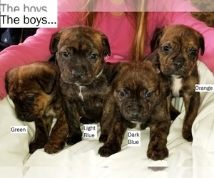 Cane Corso-Rottweiler Mix Puppy for Sale in RENO, Nevada USA