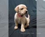 Puppy 6 Golden Labrador