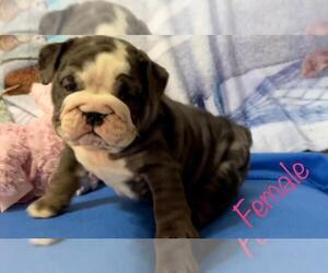 English Bulldog Puppy for sale in NATALIA, TX, USA