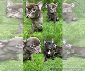 French Bulldog Dog for Adoption in SOUTH GATE, California USA