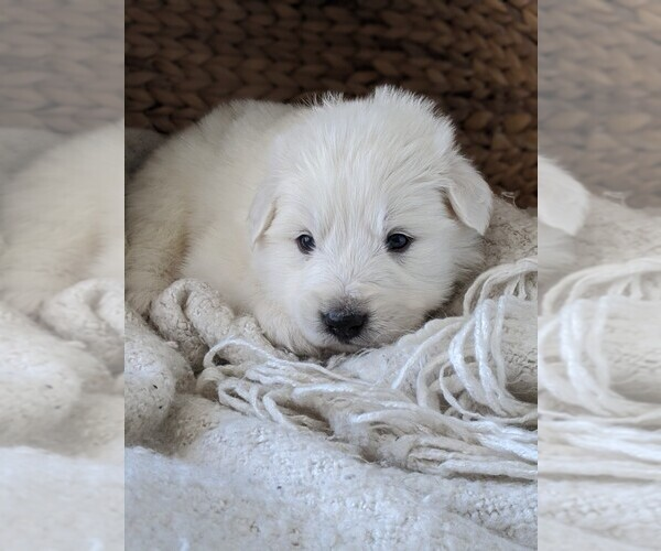 Medium Photo #37 Great Pyrenees Puppy For Sale in FALCON, CO, USA