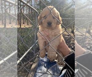 Golden Retriever Puppy for Sale in HARRISBURG, Illinois USA