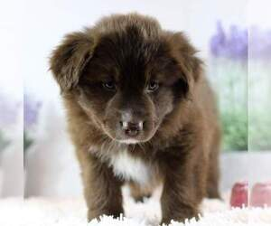 Australian Shepherd Dog for Adoption in DANVILLE, Pennsylvania USA