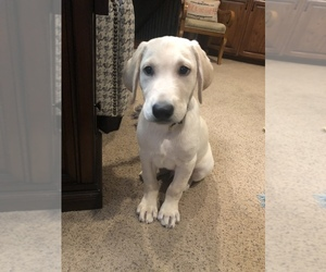 Labrador Retriever Puppy for sale in LINCOLN, NE, USA