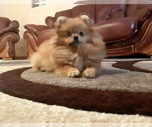 Pomeranian Puppy for sale in KLEIN, TX, USA
