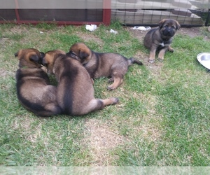 German Shepherd Dog Puppy for Sale in DALTON, Ohio USA