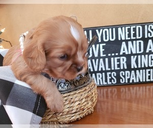 Cavalier King Charles Spaniel Puppy for sale in MEMPHIS, NY, USA