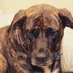 Cane Corso-Labrador Retriever Mix Dog For Adoption in BUFFALO, NY, USA