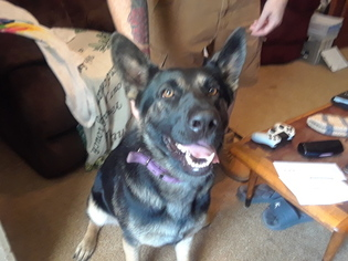 German Shepherd Dog Dog For Adoption in VARNVILLE, SC, USA
