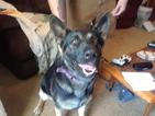 German Shepherd Dog Dog For Adoption in VARNVILLE, SC, USA