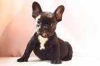 French Bulldog Puppy For Sale in ARLINGTON, VA