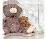 Princess The Toy Poodle