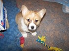 Pembroke Welsh Corgi Puppy For Sale in NEWARK, Ohio,