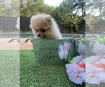 Small #2 Pomeranian