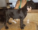 Cane Corso Puppy For Sale in INGLESIDE, TX
