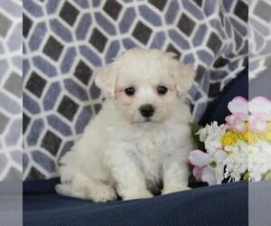 Bichon Frise Puppy for sale in NARVON, PA, USA