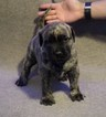 Presa Canario Puppy For Sale in WILMINGTON, CA, USA