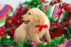 Golden Retriever Puppy For Sale in NEW PITTSBURGH, OH, USA