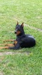Doberman Pinscher Puppy For Sale in SPRING, TX, USA