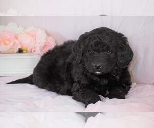 Newfoundland-Poodle (Standard) Mix Puppy for sale in FREDERICKSBG, OH, USA