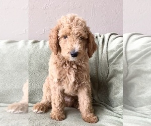 Poodle (Standard) Puppy for Sale in ARCADIA, Oklahoma USA