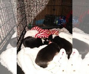Pembroke Welsh Corgi Puppy for sale in GREELEY, CO, USA