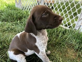 German Shorthaired Pointer Puppy For Sale in LOCUST GROVE, VA, USA